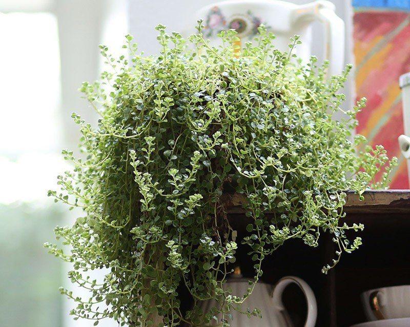 綠手指TIP|「嬰兒淚」枝葉小巧,容易維護,喜歡溫暖濕潤的環境,要種植在不曝曬、...