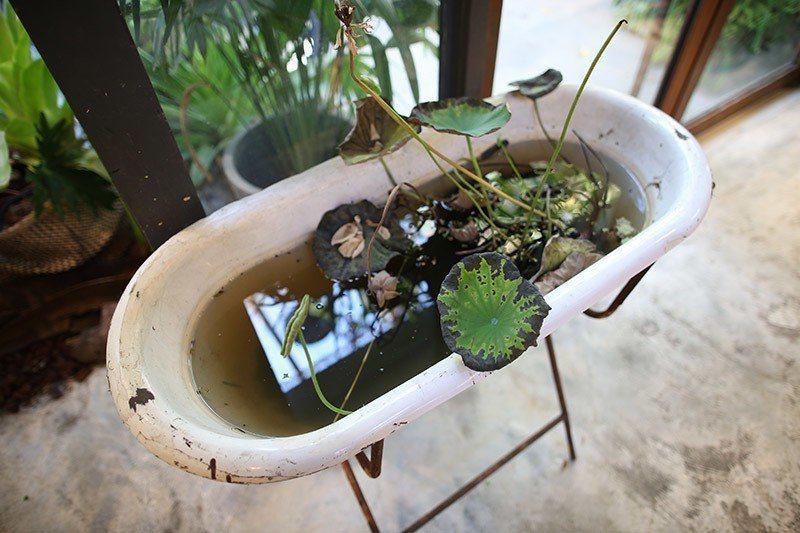 用古董嬰兒澡盆當作種植蓮花的容器,創意十足