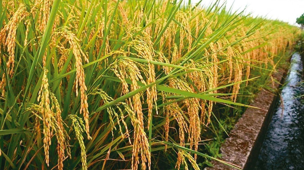 宜蘭稻農表示,今年算是大豐收,但現在稻穀還未達成熟可採收階段,面對颱風根本動彈不...