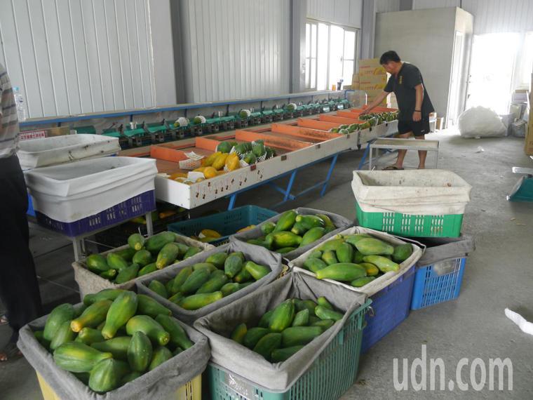 剛採收完成的木瓜進行分級包裝。記者徐白櫻/攝影