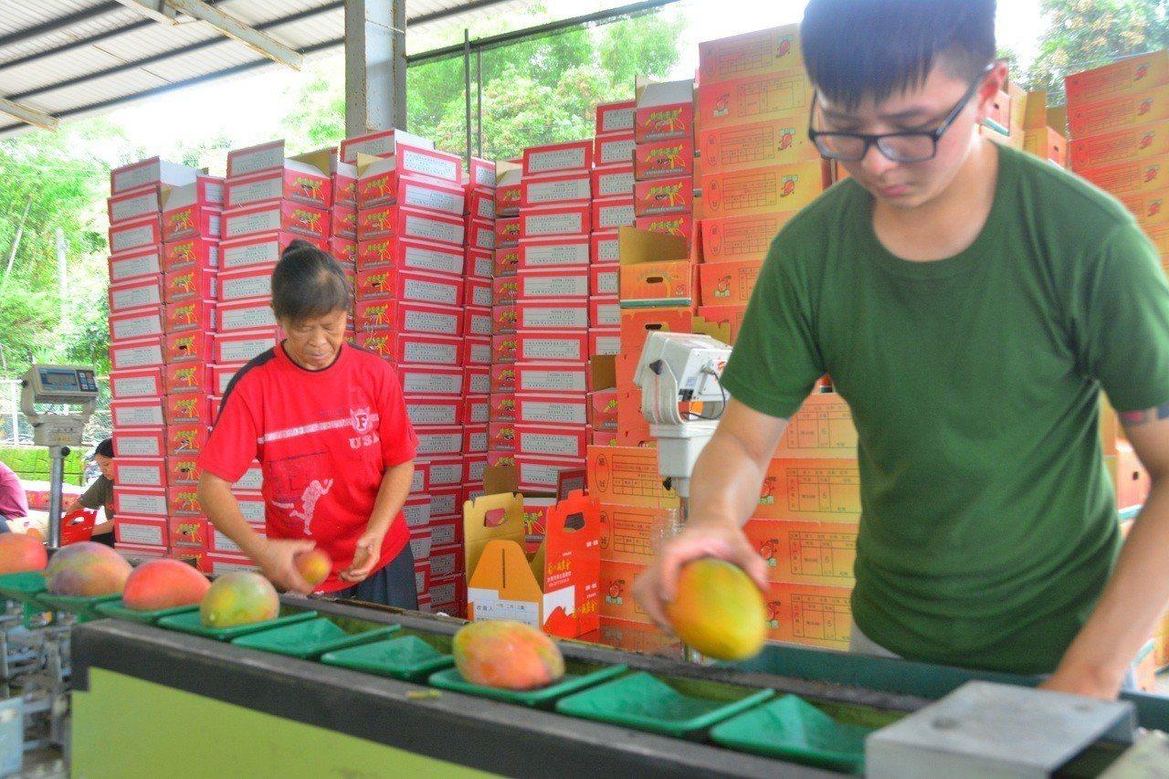 台南國際芒果節南化場推出「芒著採果趣」,安排參觀芒果集貨場。記者吳淑玲/攝影