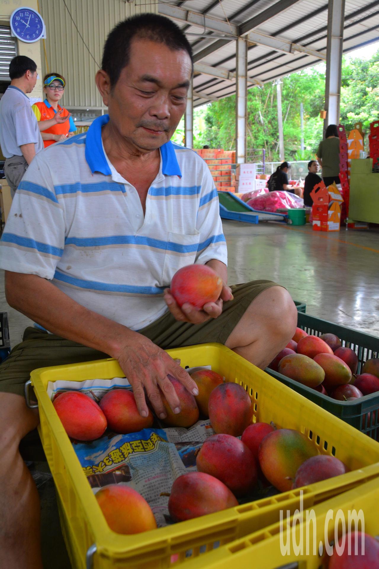 台南南化區農會集貨場資深選果員毒秋貴,一秒鐘可分辨芒果分5級,已成當地風景。記者...