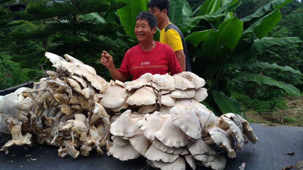 台中市和平區居民吳進貴在東勢發現一叢「雞肉絲菇」,重達100公斤。圖/吳進貴提供