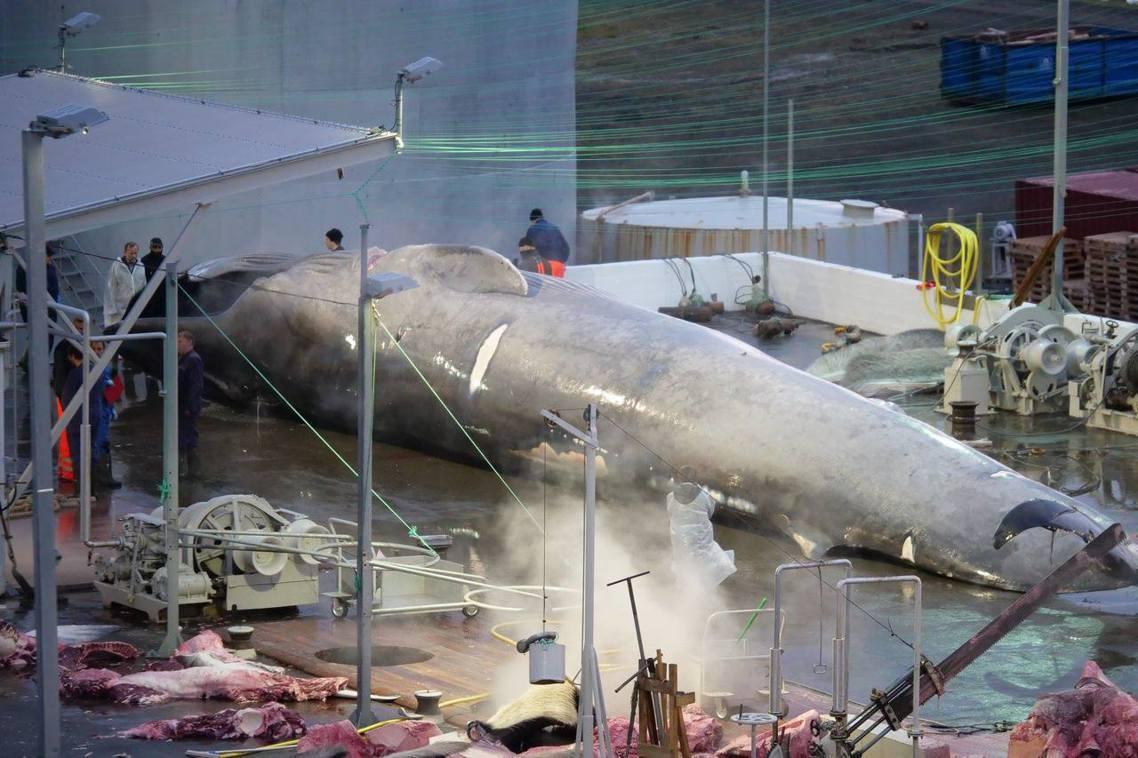 冰島捕殺藍鯨?圖為遭動保團體拍照指控的被殺鯨魚。 圖/Hard to Port ...