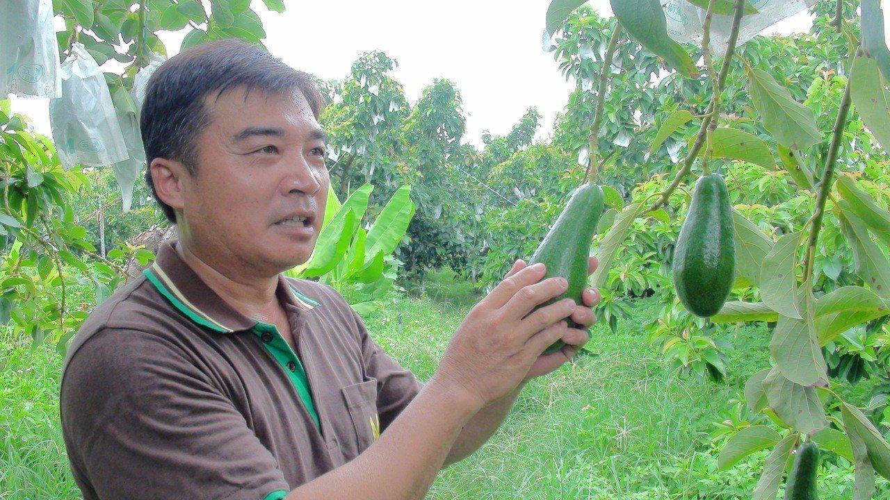 農民沈世政表示果園栽種10餘品種的酪梨,從7月採收到明年1月,圖中的黑美人酪梨很...