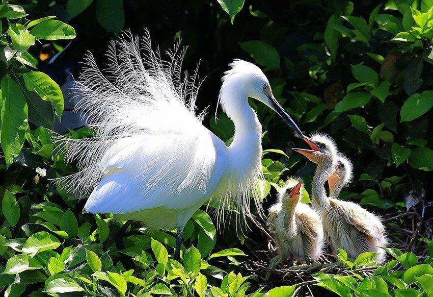 攝影達人李宏祺拍攝的照片,捕捉到鷺鷥忙著育雛的感人畫面。 新北市文化局/提供