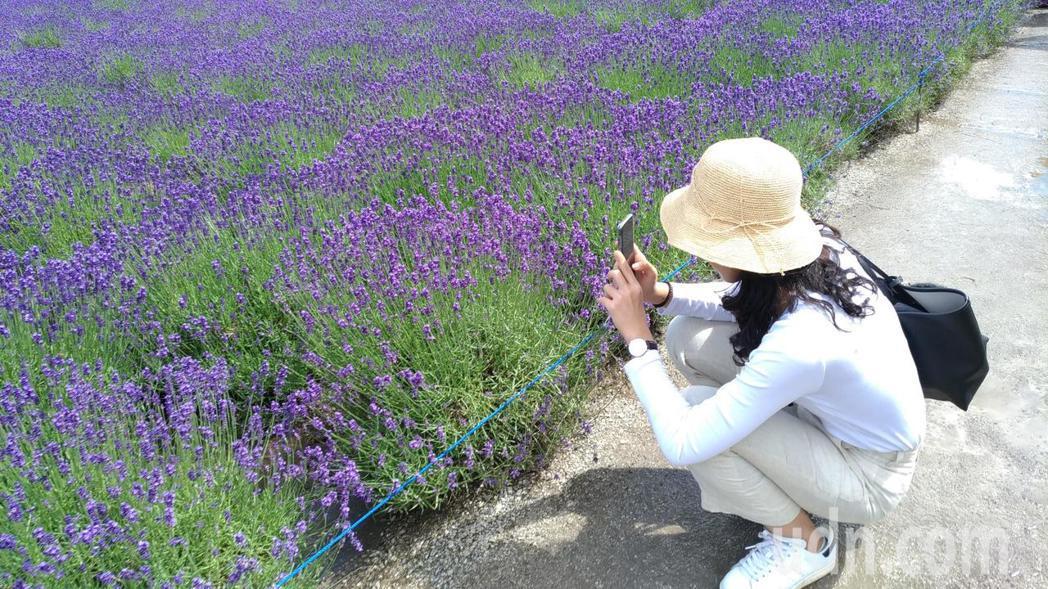薰衣草花海,吸引遊客駐足拍照。記者楊德宜/攝影