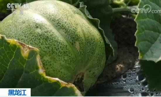 黑龍江香瓜近日香甜上市,但是產地居民卻不敢吃,因為許多香瓜都被噴灑增甜劑,有的人...