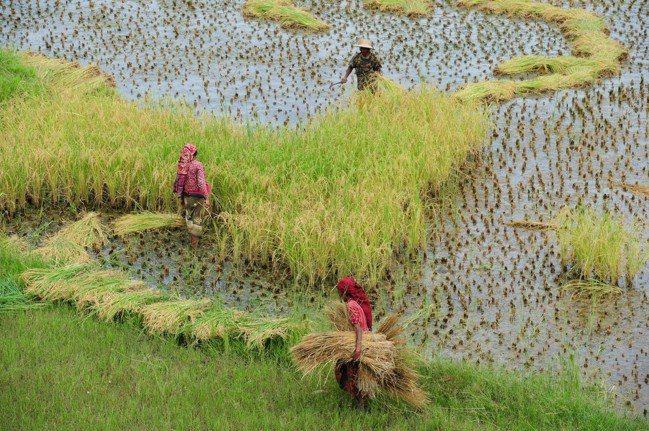 農業為尼泊爾的經濟主體,三分之二人口務農維生。 中新社