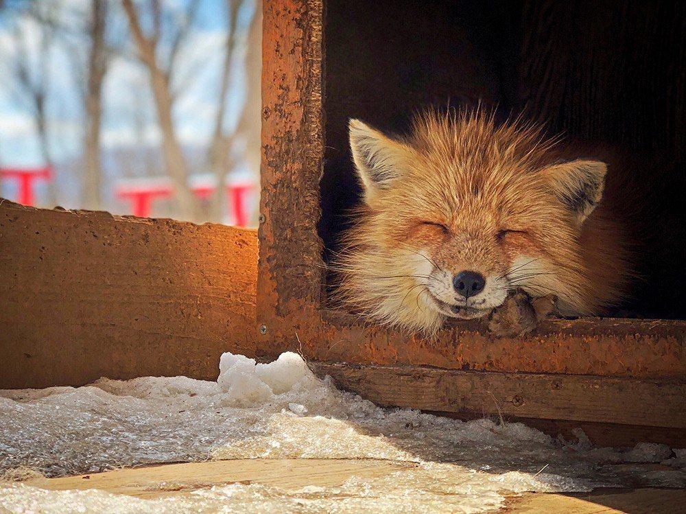 吳佳芳以作品《微笑狐狸》拿到動物類第三名。圖擷自IPPA