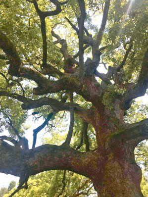 大樹。(圖/蔣勳提供)