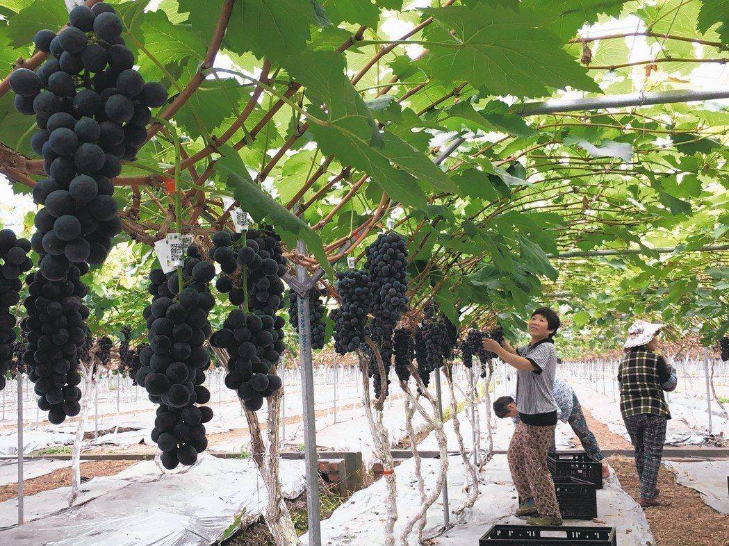 果怡葡萄園,結實累累的葡萄,等待遊客採摘品鮮。
