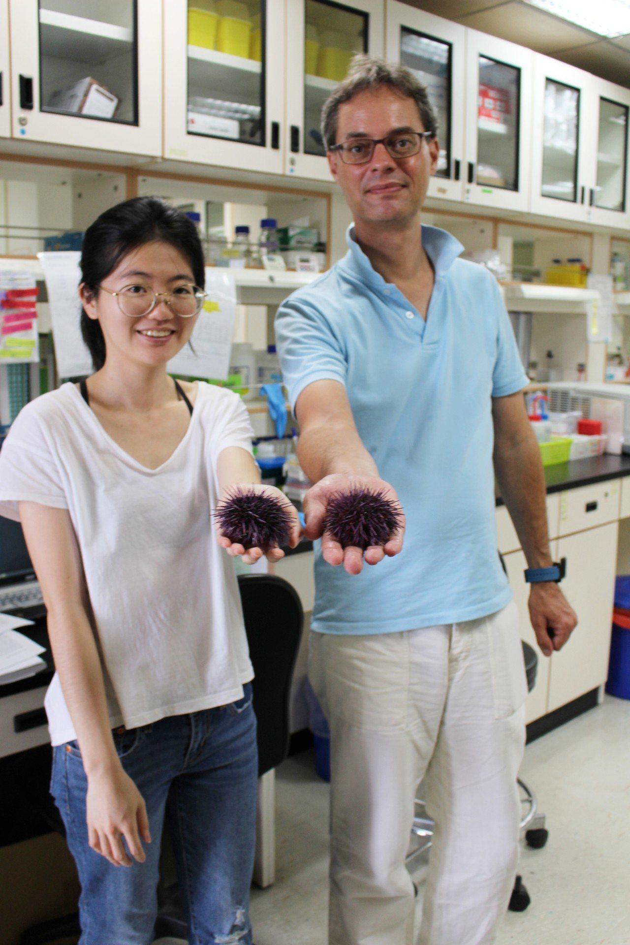長庚大學教授傅崇安(右)與研究助理劉美辰,透過「海豆芽」佐證紫海膽的研究。記者李...