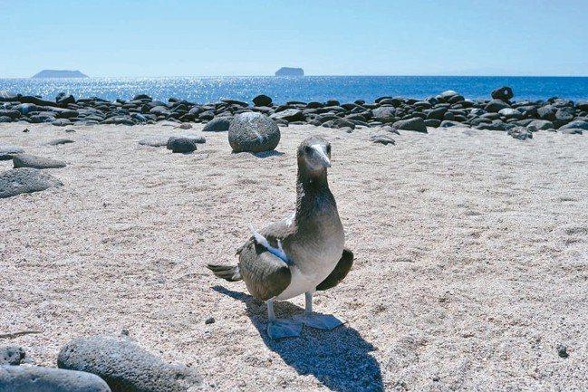 藍腳鰹鳥是厄瓜多國寶,但運氣不好腳沒變藍。 圖/詹仁雄、海地玩家提供