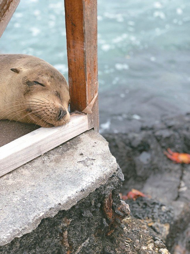 岸上遇到海獅比在台灣遇到流浪狗的機率還高。 圖/詹仁雄、海地玩家提供