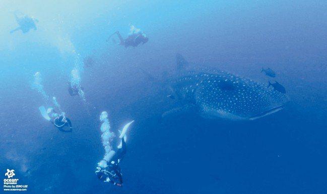 像公車一樣大的鯨鯊,據聞就是在加拉巴哥海域深處把小孩生出來的。 圖/詹仁雄、海地...