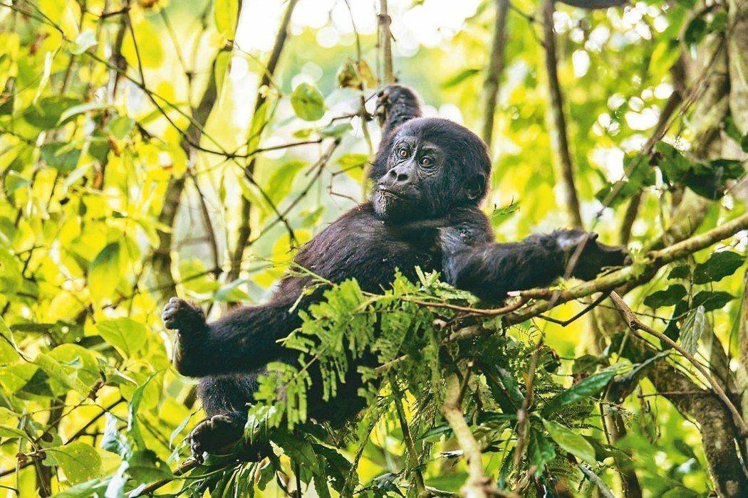 不怕生的一歲小猩猩在來客前玩耍。 圖/姚謙