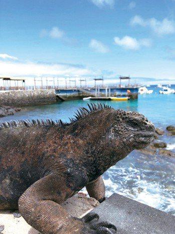 隨處可見的海鬣蜥,聽說是酷斯拉的原型。 圖/詹仁雄、海地玩家提供