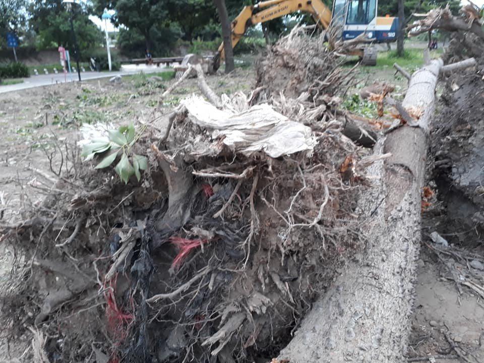 桃園護樹行動聯盟抗議指日前蘆竹南崁的光明河濱公園樹木遭粗暴移植,樹葉全數脫落,就...