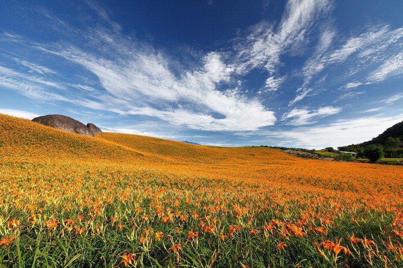 花蓮玉里赤科山金針花田將進入花季,預計8月中旬後最為壯觀,黃澄澄花海猶如一片美麗的金黃地毯。圖/花蓮縣府提供