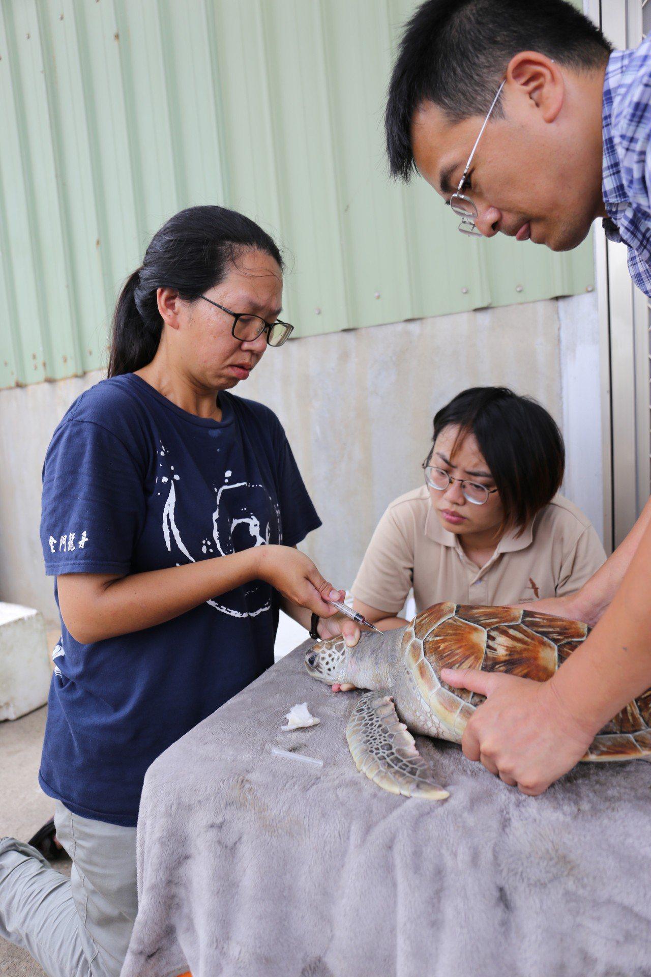 金門野生動物救援暨保育協會的獸醫與志工為海龜進行檢查與救治。協助打撈並進行救治。...