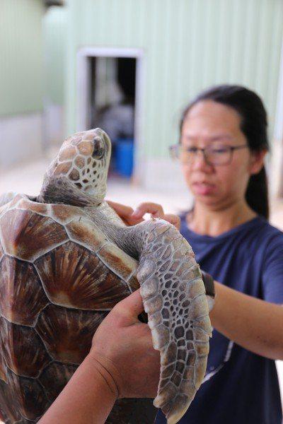 料羅港區昨發現1隻迷途的綠蠵龜受困於港內,金門野生動物救援暨保育協會協助打撈並進...