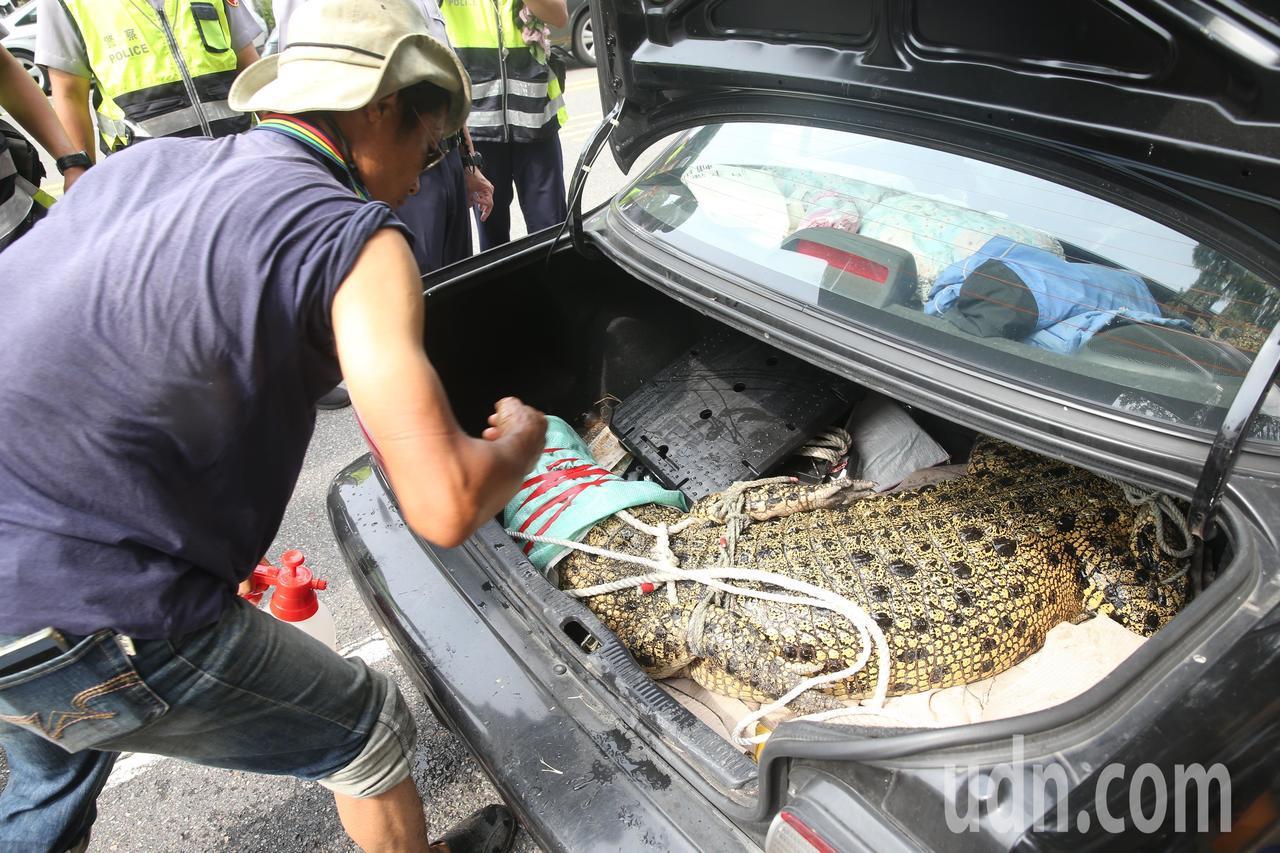 抗議動保法,一位民眾下午帶了一條大鱷魚到行政院陳情,陳情人被警方勸離,把鱷魚用小...
