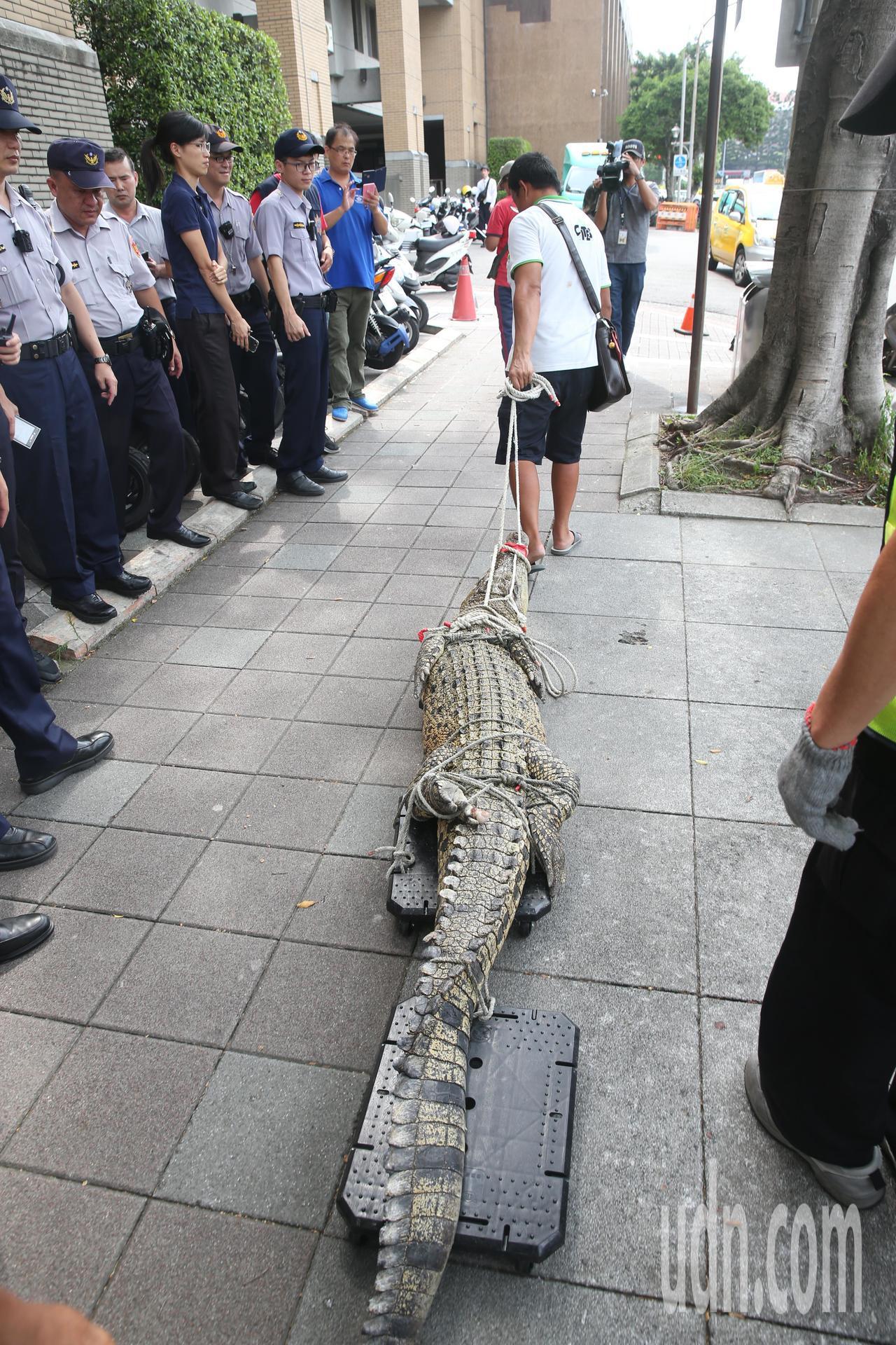 抗議動保法,一位民眾下午帶了一條大鱷魚到行政院周邊陳情。記者邱德祥/攝影