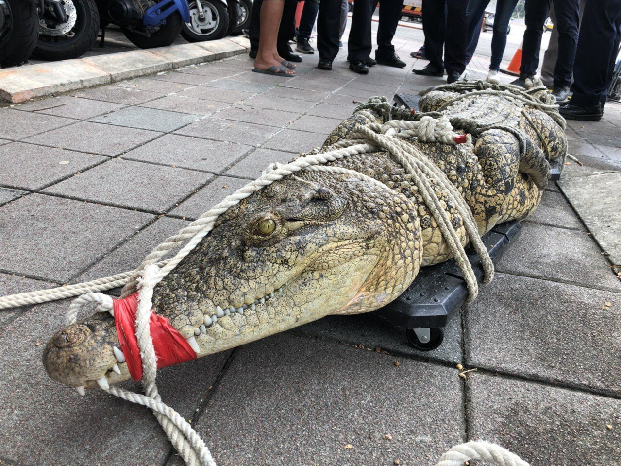 嘉義竹崎龍群鱷魚養殖場經營者45歲阮茂盛,今天帶鱷魚抗議。圖/民眾提供