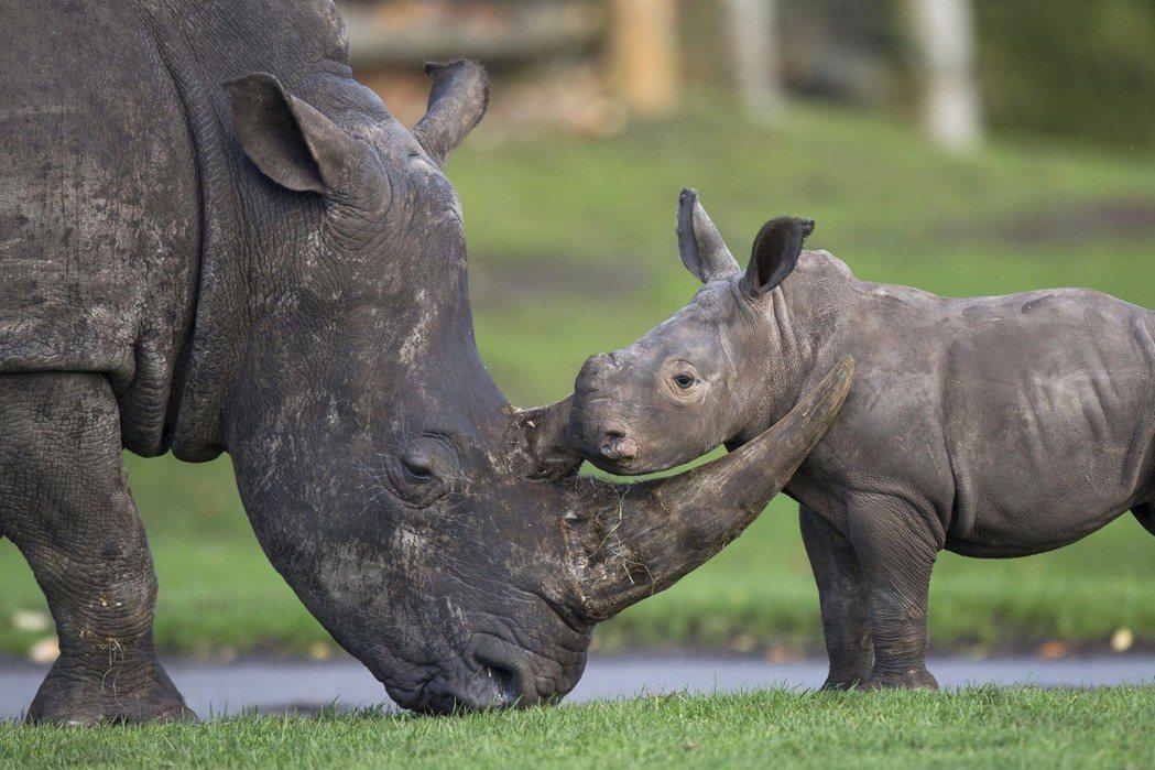 上田莉棋後來決定去非洲當志工,犀牛是一個很重要的關鍵,也是她接觸野生動物保育的起...
