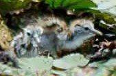 大批攝影愛好者今天在宜蘭縣員山鄉親眼見證到,兩隻小小凌波仙子破殼誕生。圖/讀者肯...