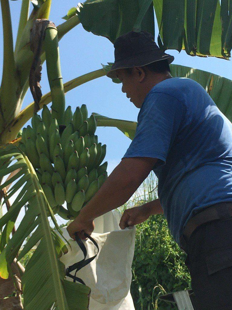 農民利用套袋保護芭蕉。圖/高雄市農業局提供