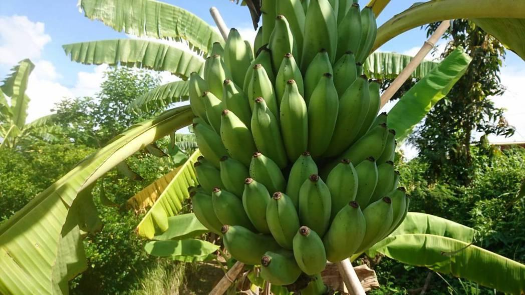 芭蕉。圖/高雄市農業局提供