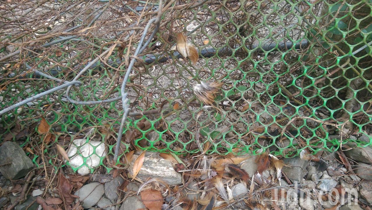 鐵絲圍籬上,還遺留被捕捉的雞毛。記者尤聰光/攝影