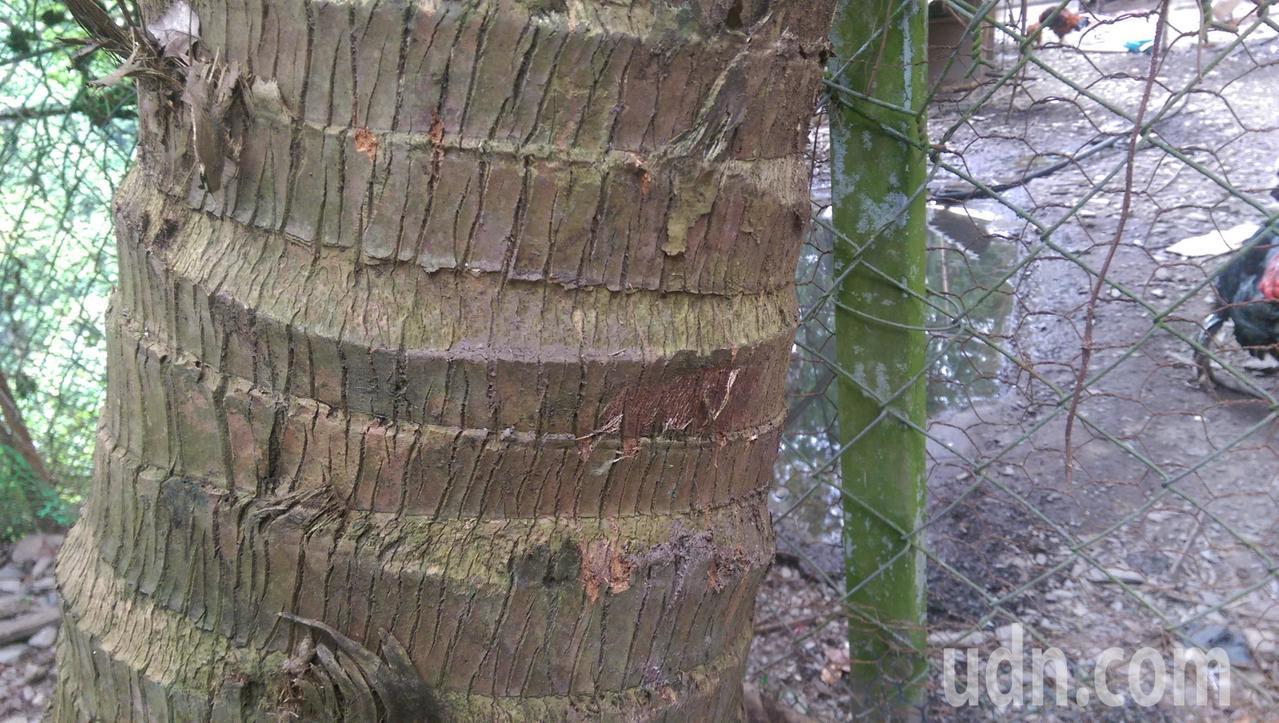 雞舍鐵絲圍籬旁的椰子樹幹,留下疑似台灣黑熊攀爬的爪痕。記者尤聰光/攝影