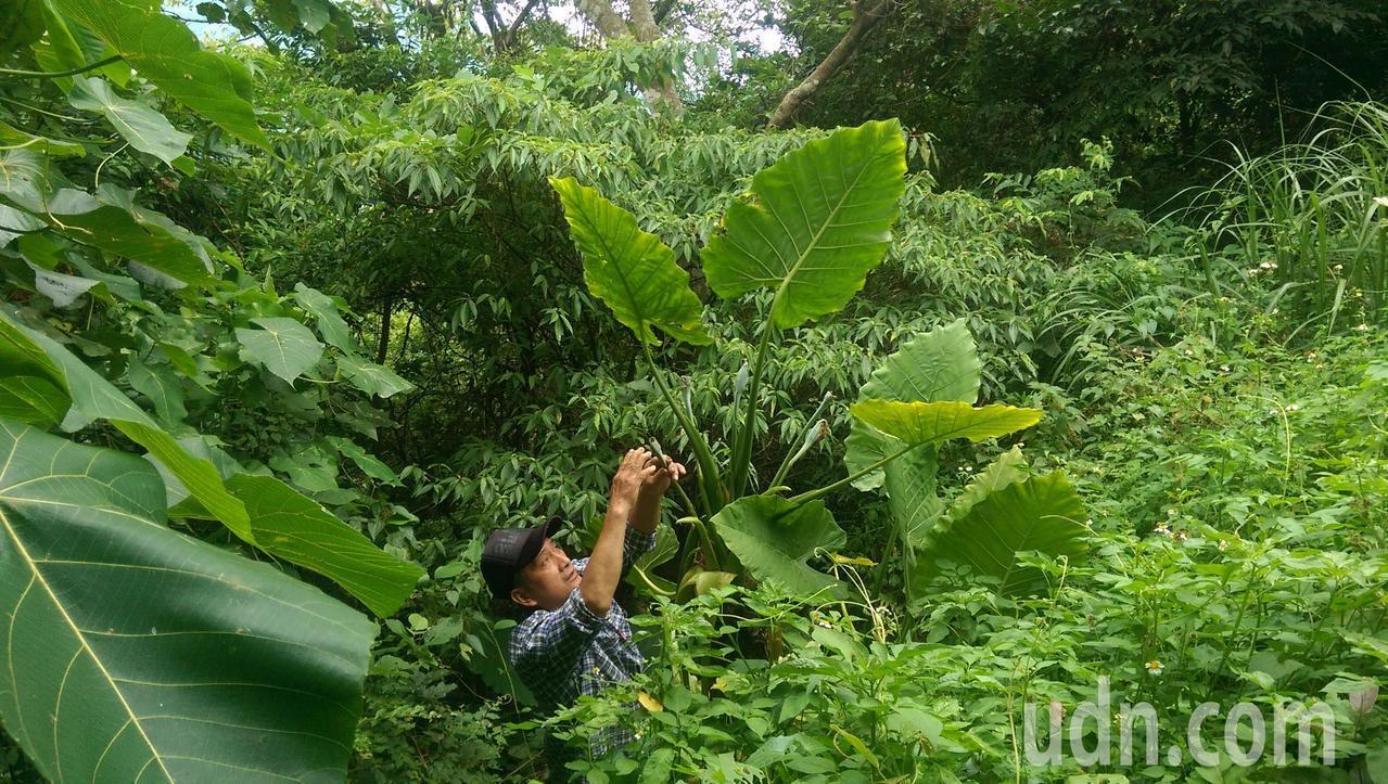 台東布農族獵人專家給亞努,發現一棵被台灣黑熊啃咬的姑婆芋。記者尤聰光/攝影
