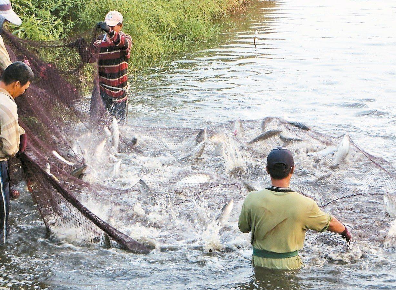 近期中南部虱目魚盛產,但買氣不足、衝擊市場價格,業者直說現在吃魚最划算。 記者卜...
