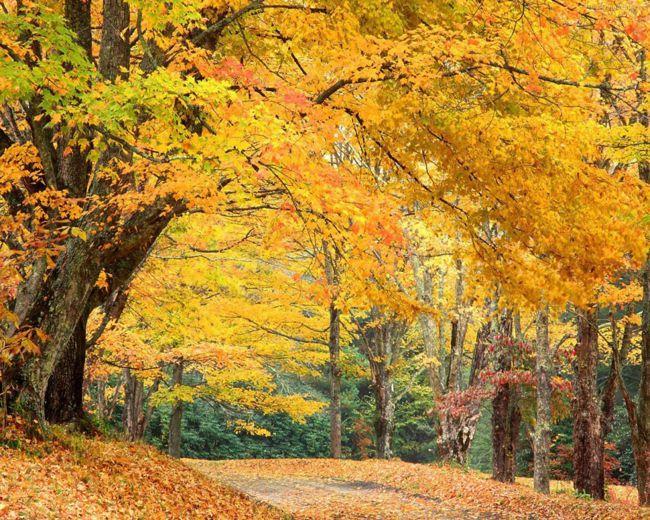 加拿大東岸楓葉從每年10月起由黃轉紅,美不勝收。 袁世珮