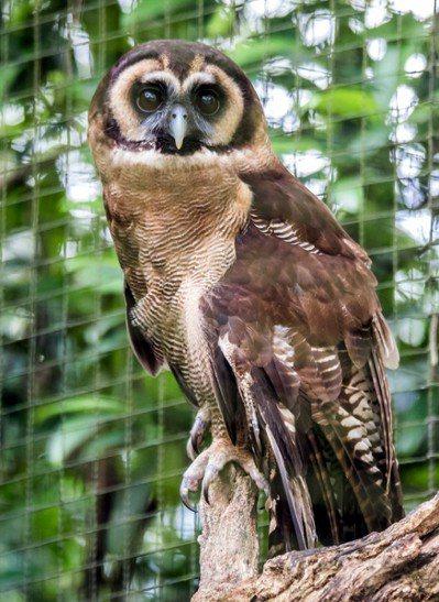 明天是一年一度的「國際貓頭鷹意識日」。 圖/臺北市立動物園提供