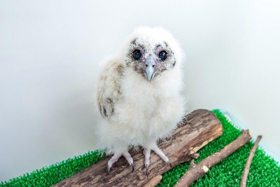 褐林鴞寶寶「雪寶」小時候的模樣Q萌可愛。 圖/臺北市立動物園提供