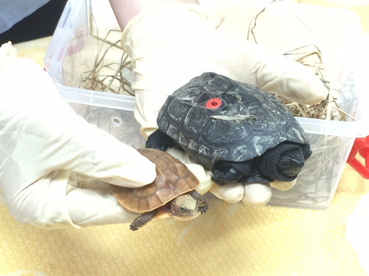 走私的272隻烏龜中,有保育類一級大頭龜及保育二級黃緣閉殼龜,價值不斐。記者蔡家...