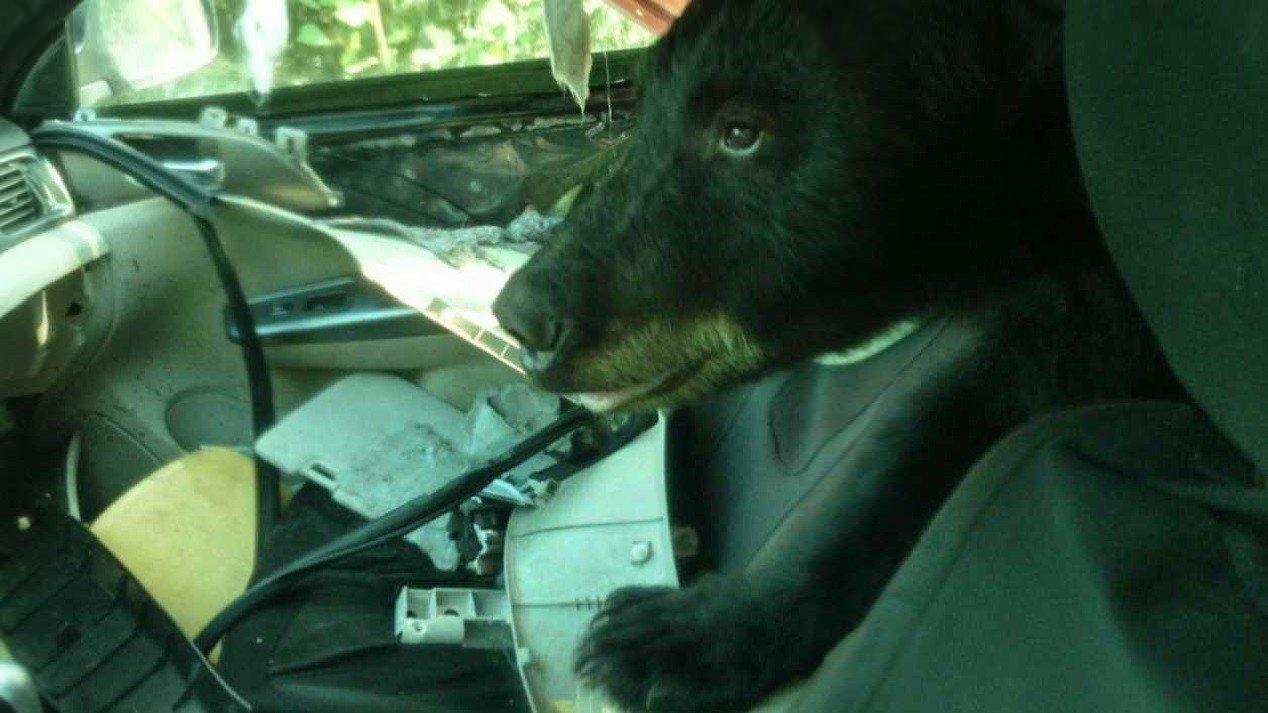 美國科羅拉多州傑佛遜郡警局隨影像公布的「霸車黑熊」近照。傑佛遜郡警局指此一小熊3...
