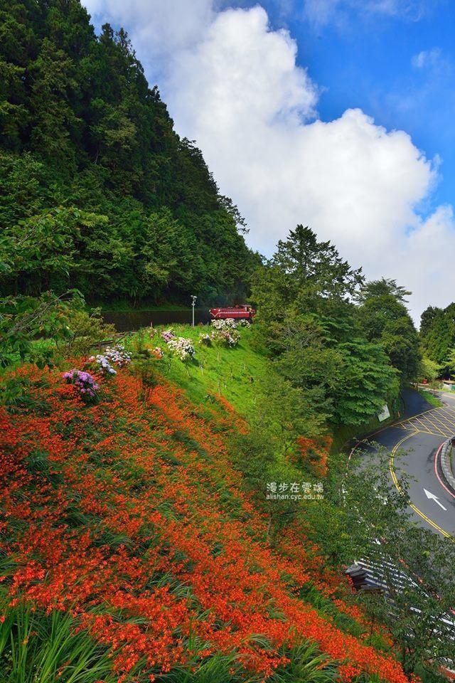 大片的橘色花朵點綴山壁,相當可愛。圖/粉絲團《漫步在雲端的阿里山》授權使用