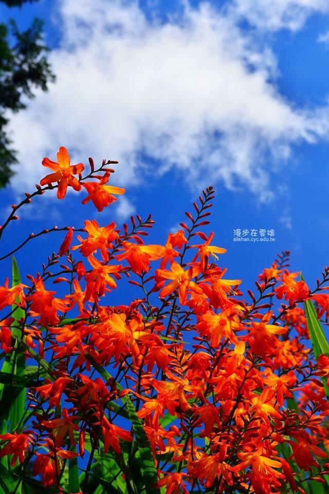 配上藍天白雲的美景,更顯射干菖蒲的鮮艷動人。圖/粉絲團《漫步在雲端的阿里山》授權...
