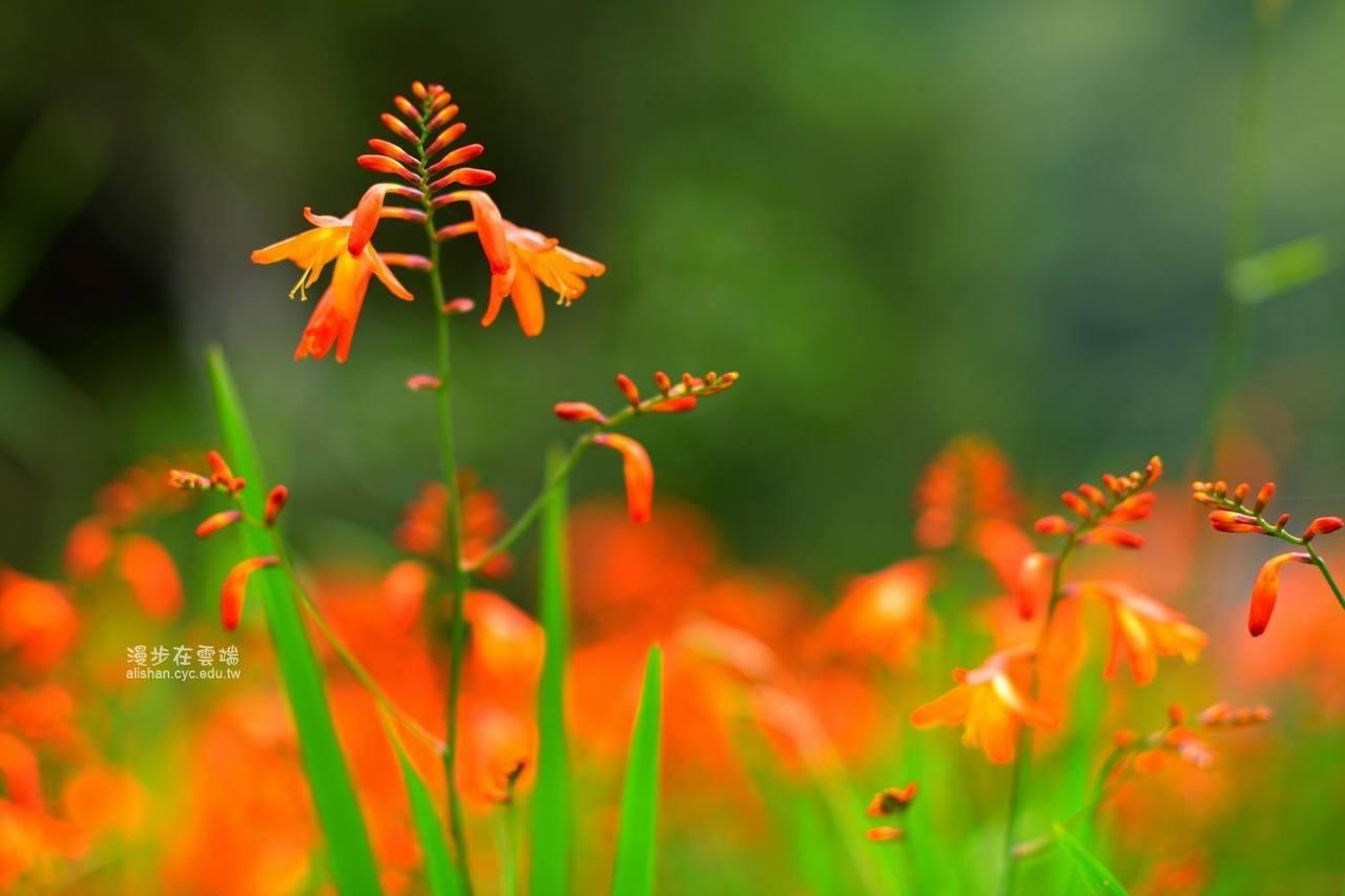 橘紅色的漏斗型花朵,模樣類似小精靈。圖/粉絲團《漫步在雲端的阿里山》授權使用
