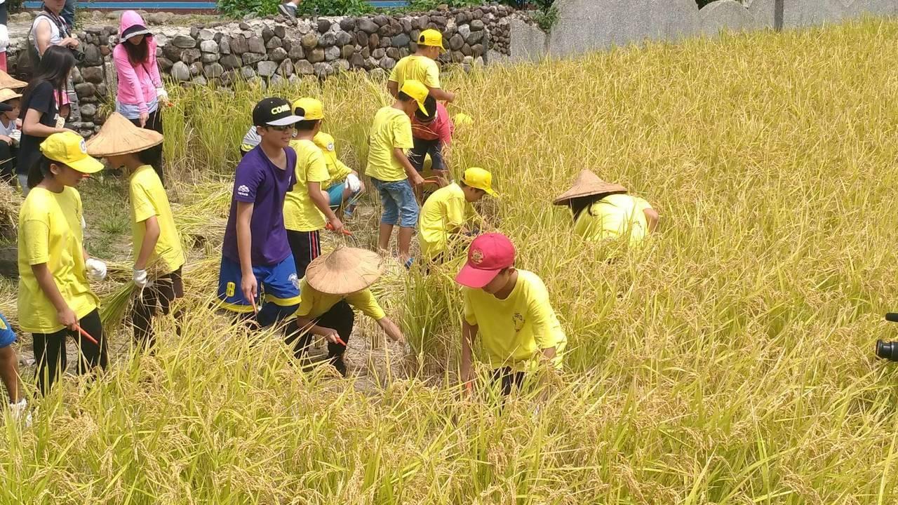金山區三和國小學童及家長,今天總動員參與彎腰割稻,當一日農夫,了解從前的農業生活...