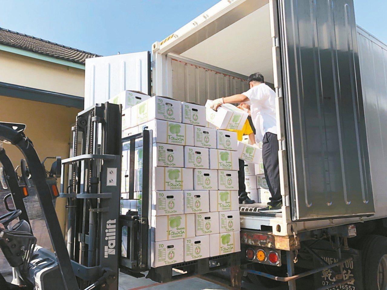 高雄番石榴的海運保鮮技術已趨成熟,昨天在阿蓮區農會裝櫃啟運出口至新加坡。 記者謝...