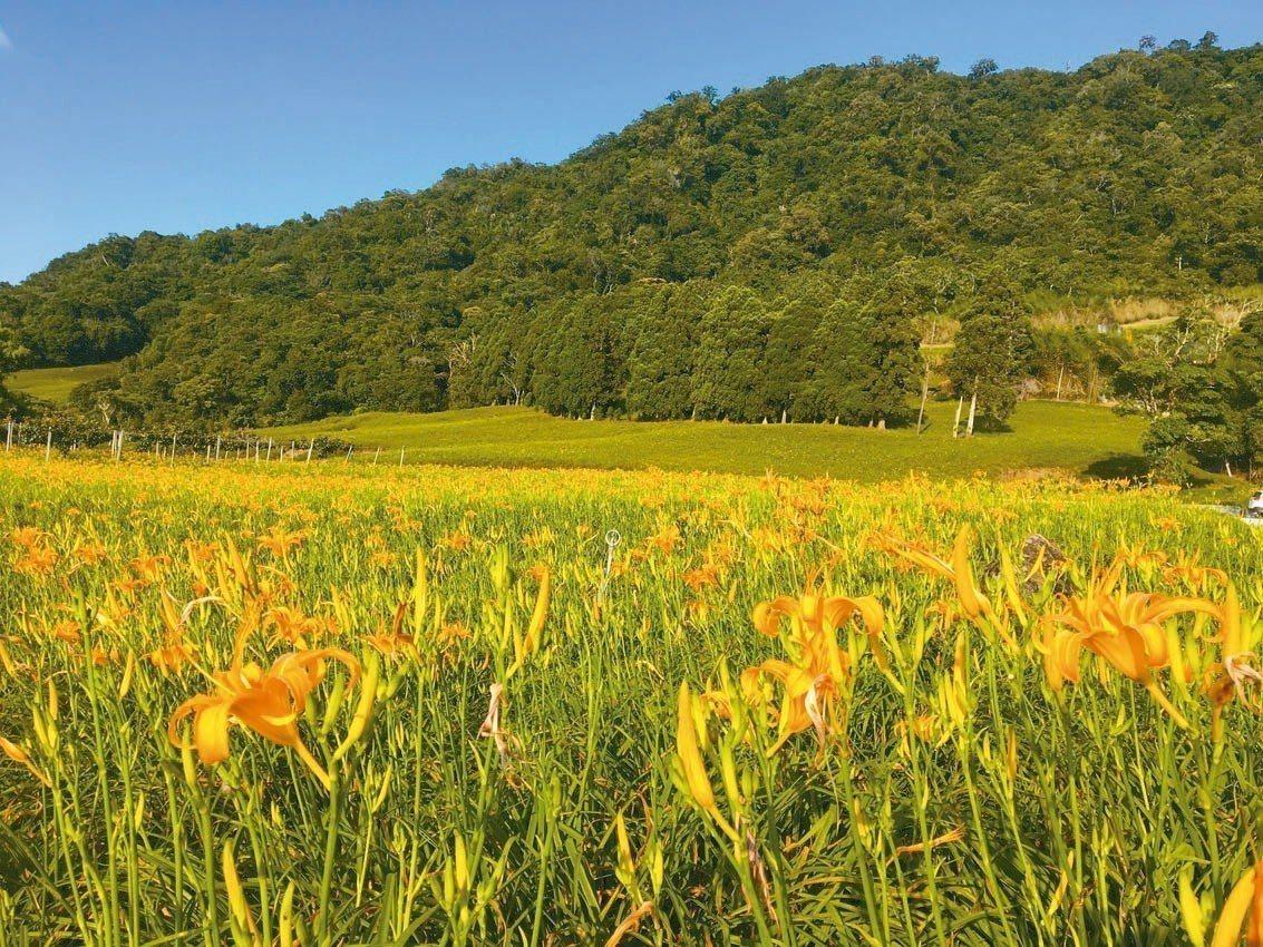 花蓮金針花季登場,澄黃花朵將六十石山、赤柯山的翠綠山巒點綴得更美麗,宛如仙境。 ...