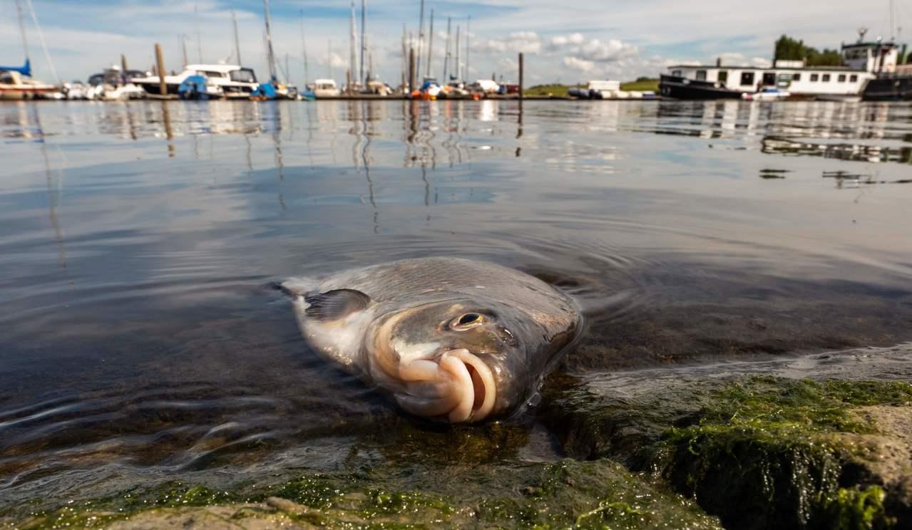 德國萊茵河與易北河因高溫導致水位大幅下降,大量魚類死亡。 法新社