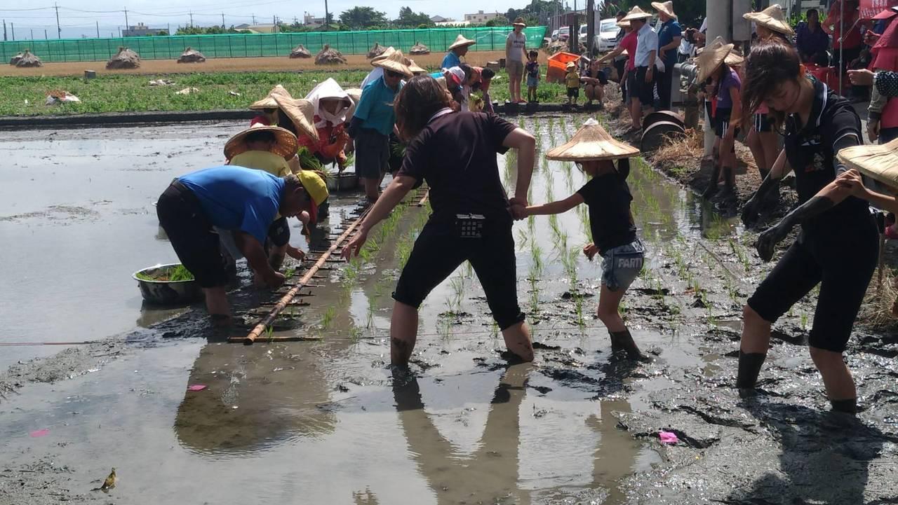 農民使用插秧架,以4個人為一組,一次就是24排,彎著腰、速度要快,非常辛苦。。記...